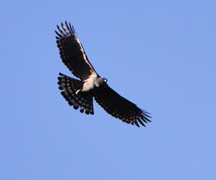 Mountain Hawk Eagle