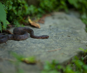 Mountain Pit Viper