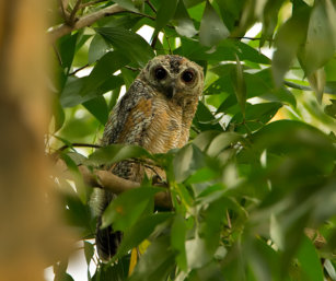 Mottled Wood-Owl