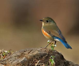 Orange-front Bush robin
