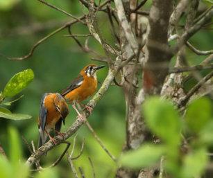 Orange-headed Ground Thrushes