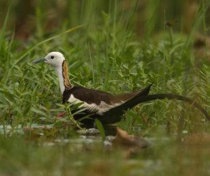 Phesant-tailed jacana