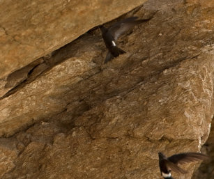 Pacific fork-tailed Swift