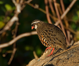 Painted Bush-quail