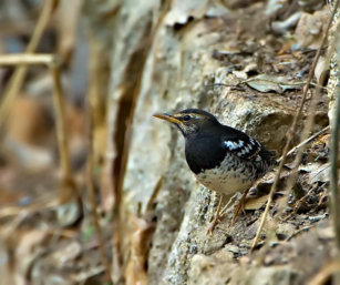 Pied Ground thrush