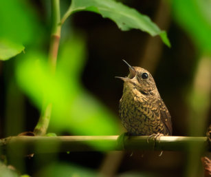 Pygmy Wren-babbler