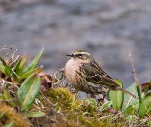 Rosy Pipit