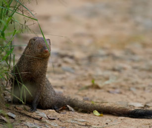 Ruddy Mongoose
