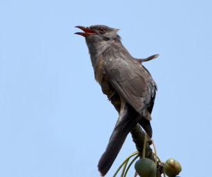 Rufous-bellied Cuckoo