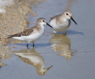 LITTLE STINT (DUNLIN IN THE BACKGROUND)
