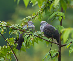 Speckled-wood Pigeon