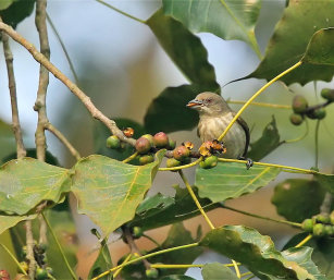 Thick Billed Flowerpecker