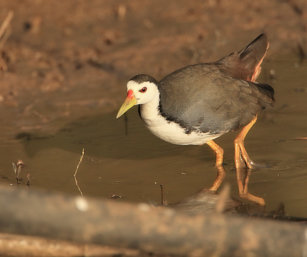 White-brested waterhen