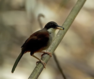 Waynad Laughing Thrush