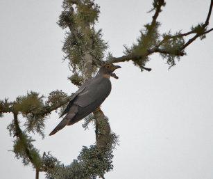 Whistling Hodgson's Hawk Cuckoo
