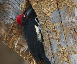 White-bellied Woodpecker