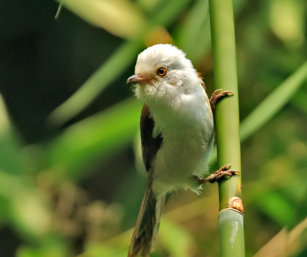 White-hooded Babbler