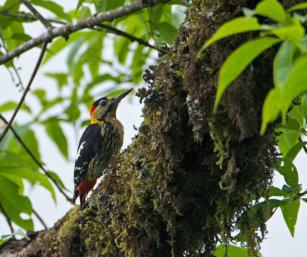 Crimson-breasted Pied Woodpecker