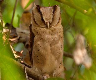 Ceylon Bay Owl