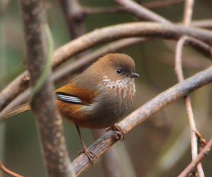 brown-breasted fulvetta