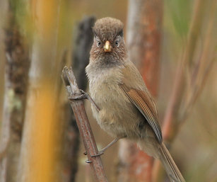 brown-breasted fulvetta