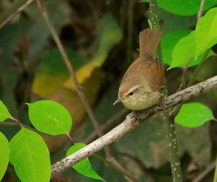 Brownish-flanked Bush Warbler