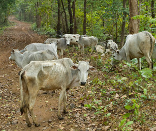 Cattle, Satkosia Tiger Reserve