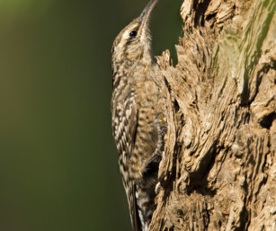 Spotted Creeper