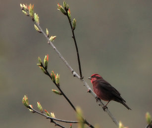 dark-breasted rose finch
