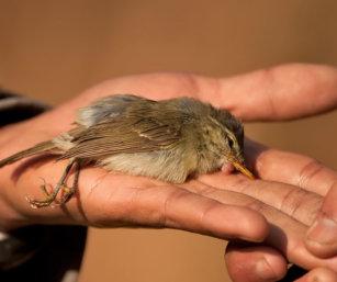 dead greenish warbler