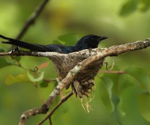drongo nest
