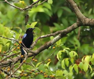fairy blue-bird