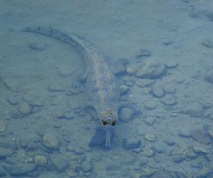 Gangetic gharial