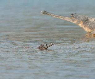 chambal gharial