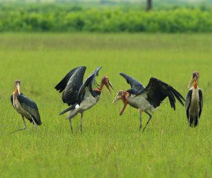 greater adjutant stork