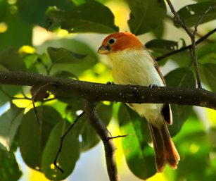 Greater Rufous-headed Parrotbill