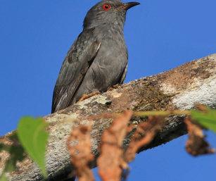 grey-bellied cuckoo shrike