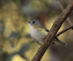 Green Shrike Babbler