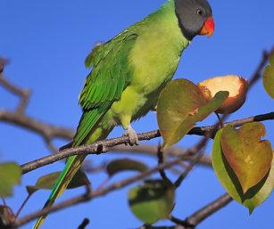 himalayn parakeet
