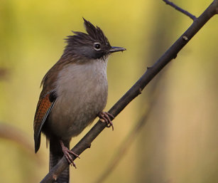 Hoary-throated Barwing