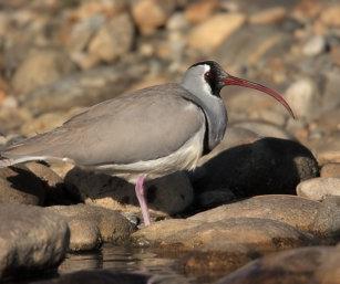 ibis bill