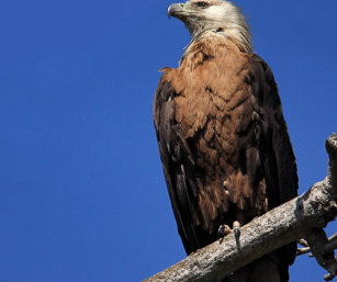 Pallas Fish Eagle