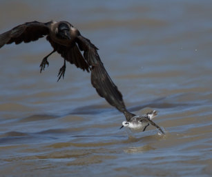 Phalarope chased by crows