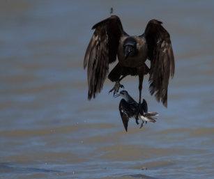 Phalarope chased by crows