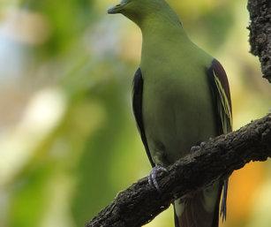 pompadour pigeon