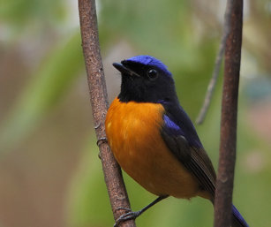 rufous-bellied niltava