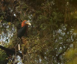 rufous-necked Hornbill