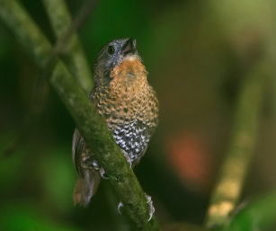 Rufous-throated Wren Babbler