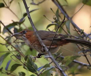 rusty-cheeked Babbler