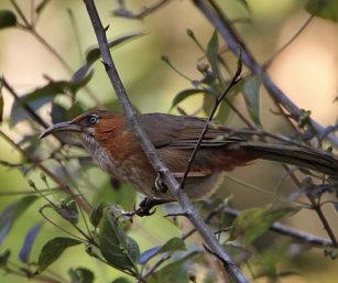 rusty-cheeked Babbler